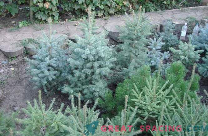Saplings of coniferous plants